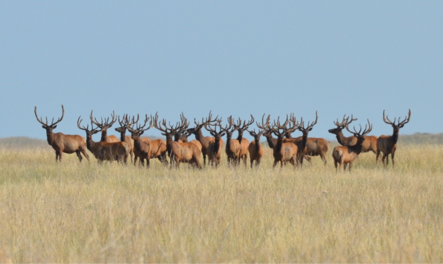 An aggregation of Elk